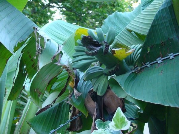 В Дагомысе даже бананы растут