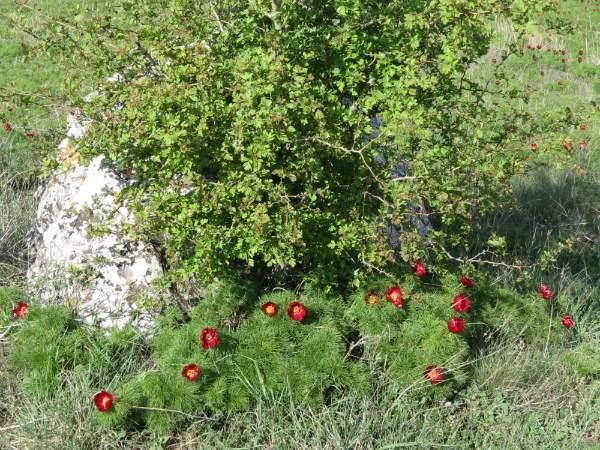 Цветы дикого пиона