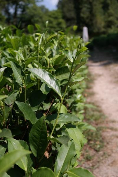 Кусты чая, с плантации Кошмана И.А.