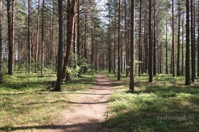 Дорожка к болоту ведёт через лес